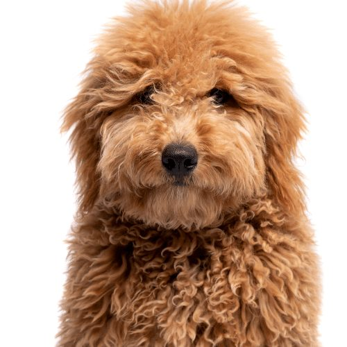 fluffy brown dog