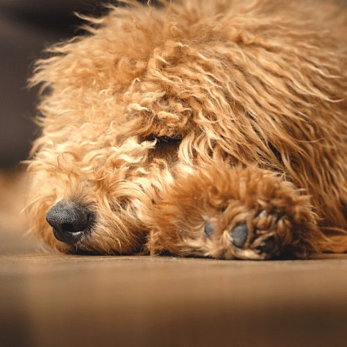 red puppy sleeping on the floor