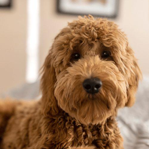 mini goldendoodle looking at camera