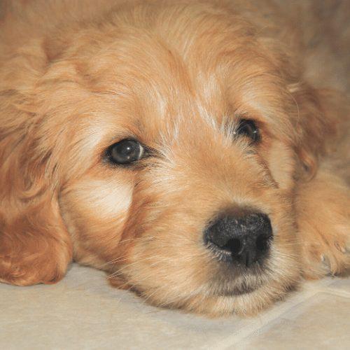 light brown pup