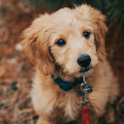 miniature golden doodle in the fall