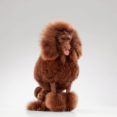 brown mini poodle
