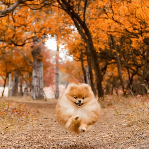 pomeranian running