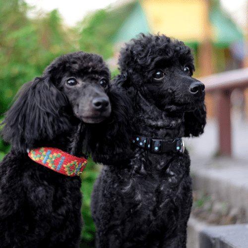 two black poodles brushed
