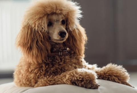 brushed brown mini poodle