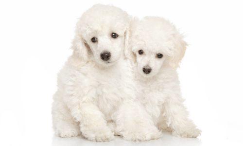 white pups