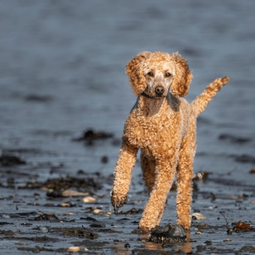 brown poodle running at beach