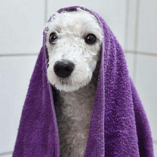 poodle after bath