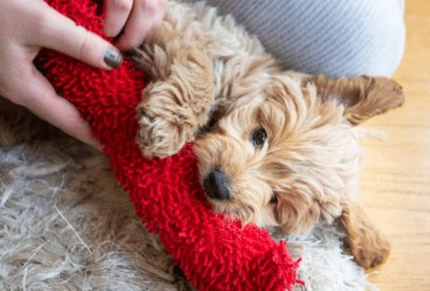 goldendoodle puppy with toy