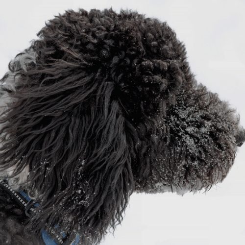 black goldendoodle in the snow