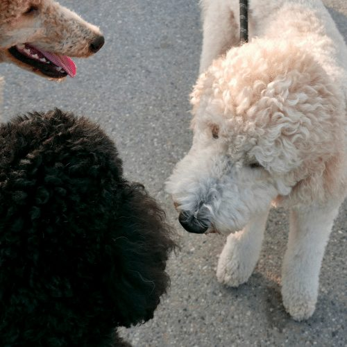 two poodle mix dogs meeting on leash