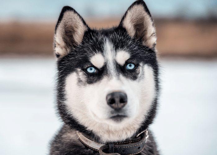 grown up husky