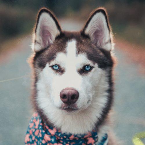 husky eye color