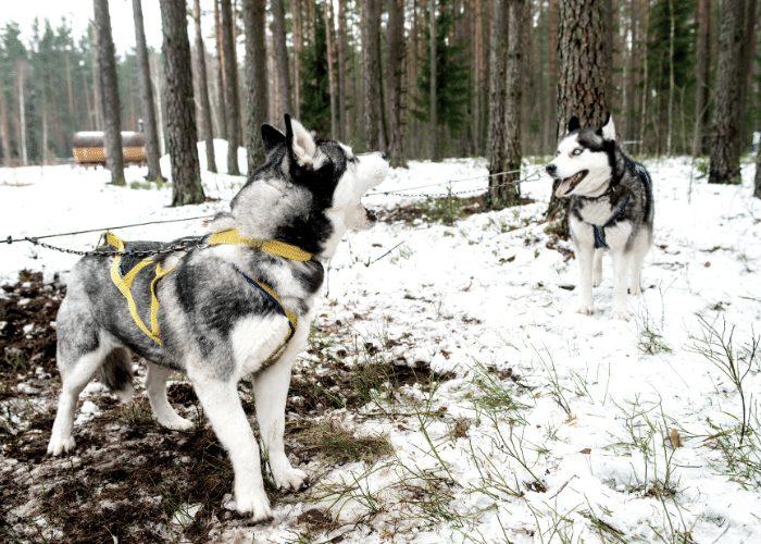 two huskies barking
