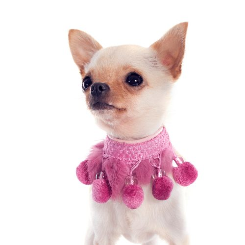 pink collar dog