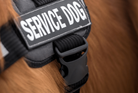 goldendoodle service dog