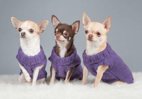service dog chihuahuas