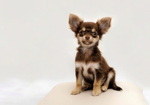 chihuahua puppy sitting