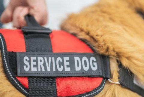 service dog in training vest