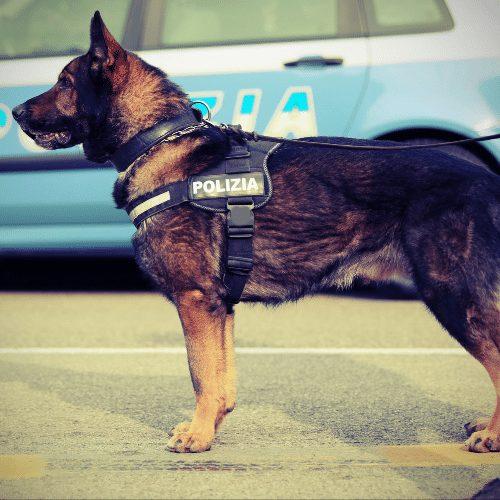 police german shepherd