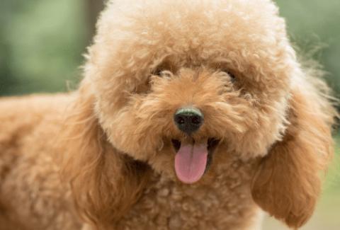 teddy bear cut poodle