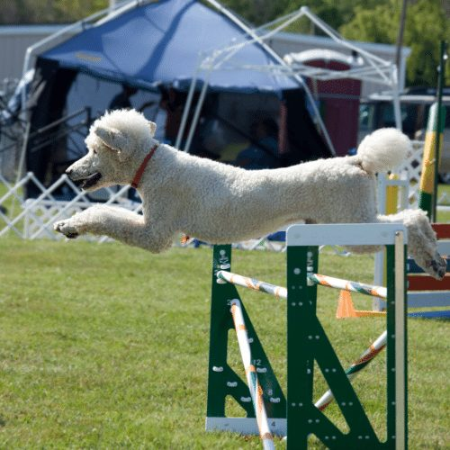 poodle on double