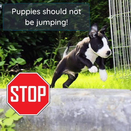 puppy agility jump