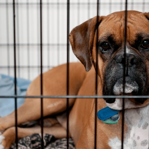 brown boxer in crate