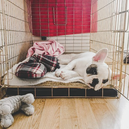 french bulldog in crate