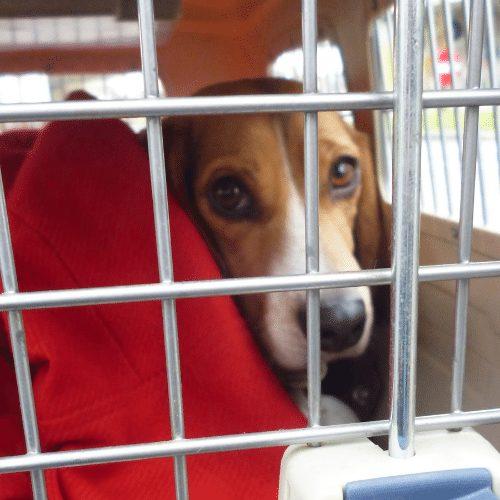 beagle in a travel crate