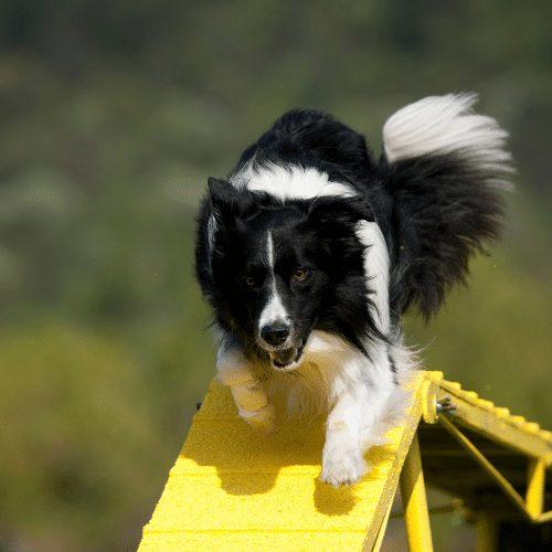 border collie on yellow dogwalk