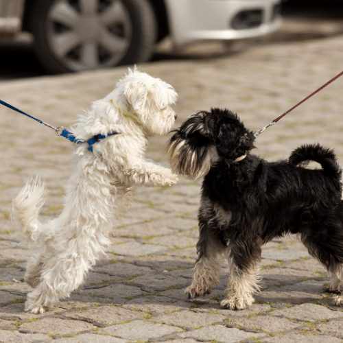two leash reactive dogs