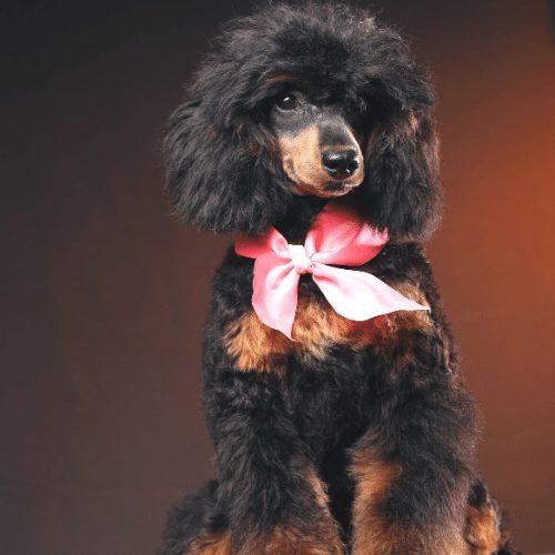miniature phantom poodle in black and tan