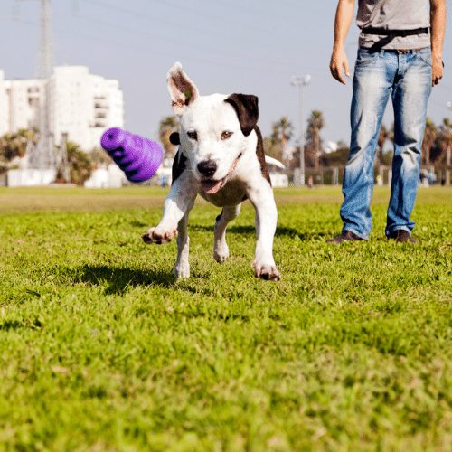 pitbull running after a toy