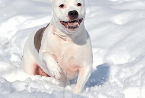pitbull in the snow