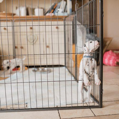 dalmatian puppy in playpen