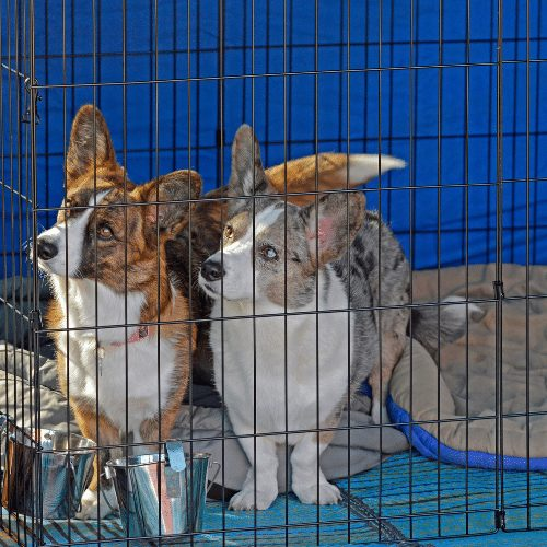 two corgis in one crate