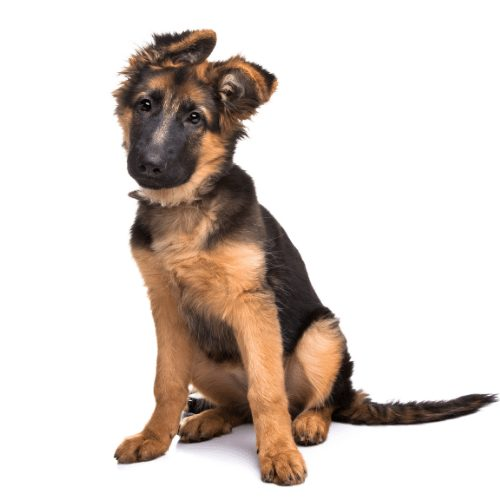 $200 German Shepherd Puppies Dogs For Sale Near Me In New South Wales Australia