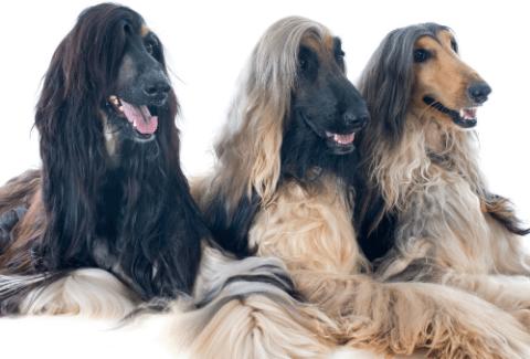 afghan hounds price