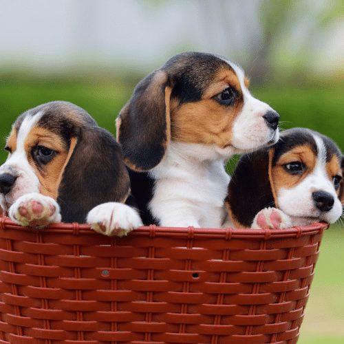 beagle growth