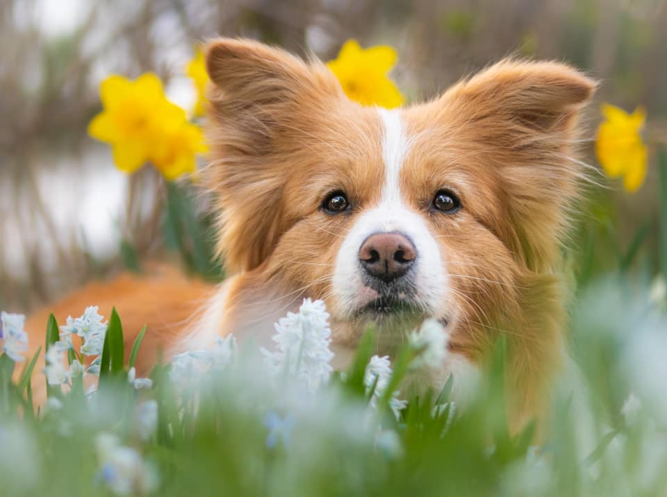 ee red border collie