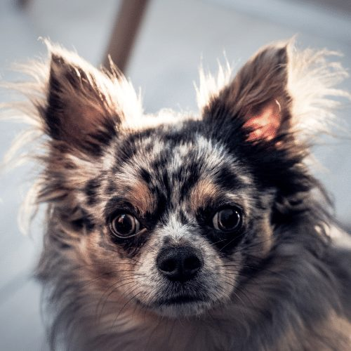 chihuahua in grey