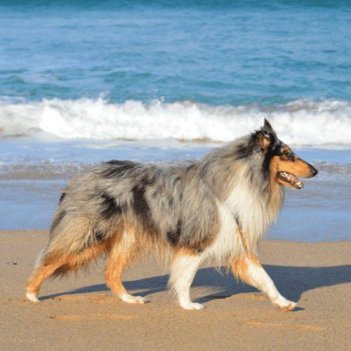 rough collie at the beach