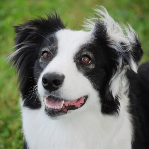 Black Bi-colored aussie on the green background