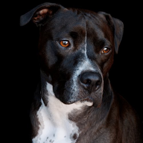 Black and White Pitbull on the black background