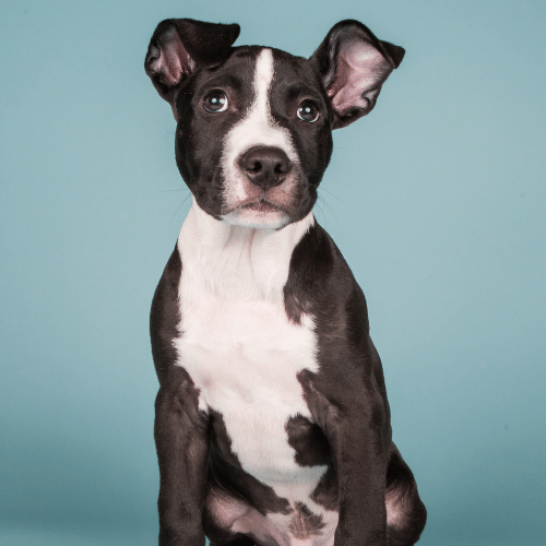 pitbull puppy on the blue background