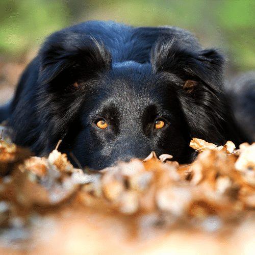 Black merle australian shepherd and leaves