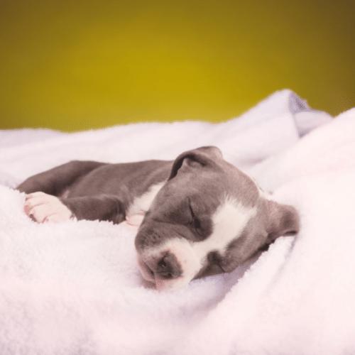 Blue Fawn Pitbull sleeping