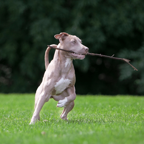 Blue Fawn Pitbull with stick