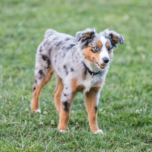 blue merle tri-colored aussie on the yard
